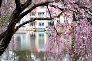 Reston Food Blog - Cherry Blossoms in Reston